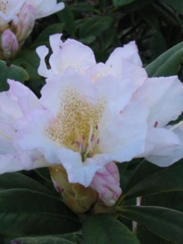 Rhododendron  'Silver Sixpence' - Dwergrododendron