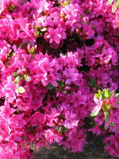 Rhododendron  'Silvia' - Japanse azalea