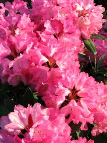 Rhododendron  'Sneezy' - Dwergrododendron