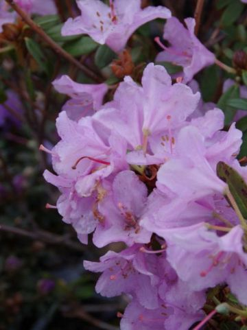 Rhododendron  'Snipe' - Dwergrododendron