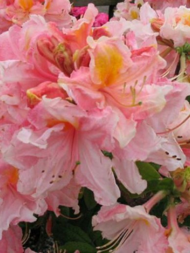 Rhododendron  'Strawberry Ice' - Tuinazalea