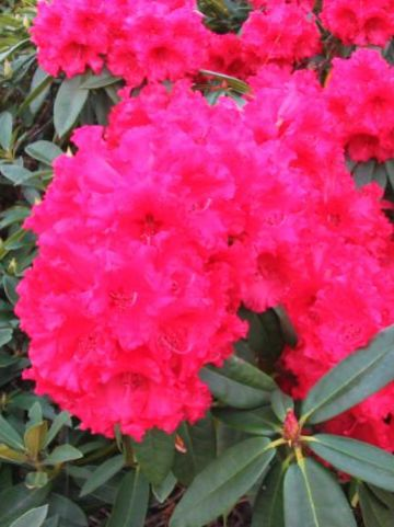 Rhododendron  'Taurus' - Rododendron