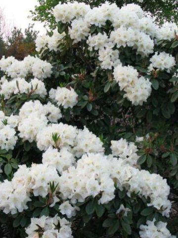 Rhododendron 'Unique' - Rododendron