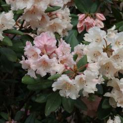 Rhododendron  'Virginia Richards' - Tuinrododendron