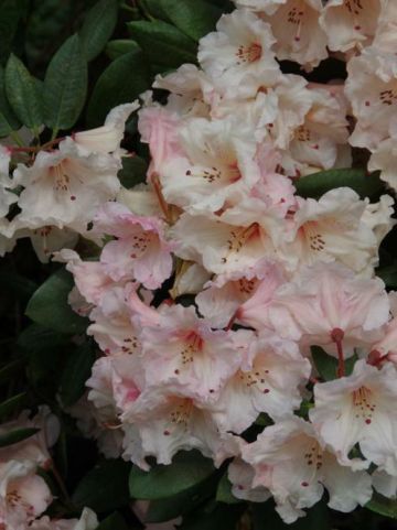 Rhododendron  'Virginia Richards' - Tuinrododendron