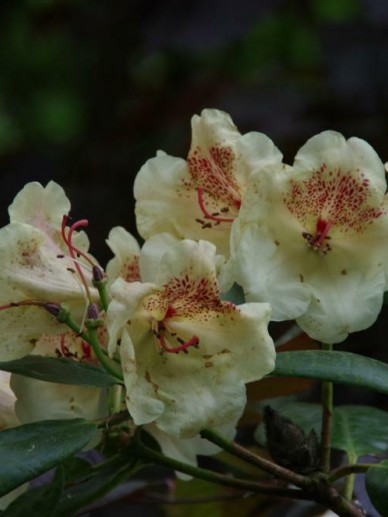 Rhododendron  'Viscy' - Rododendron