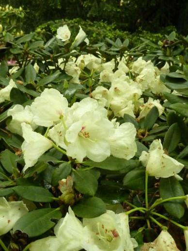 Rhododendron  'Volker' - Dwergrododendron