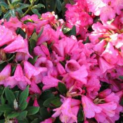 Rhododendron  'Winsome' - Dwergrododendron