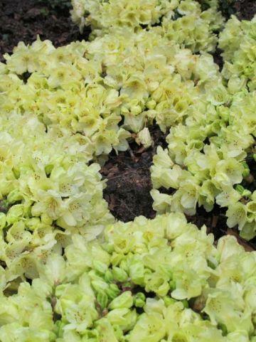 Rhododendron  'Wren' - Dwergrododendron