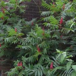 Rhus typhina  - Fluweelboom