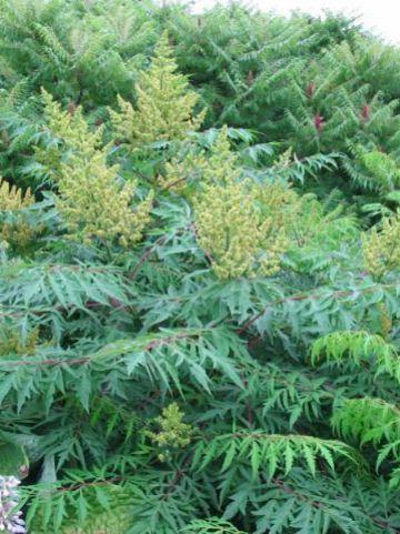Rhus typhina 'Dissecta' - Azijnboom, fluweelboom, sumak