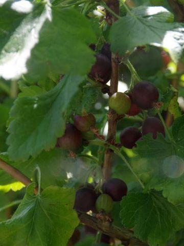 Ribes  'Jostaberry' (='Josta') - Jostabes