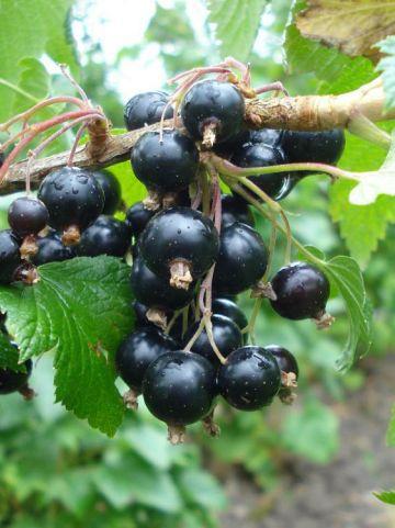 Ribes nigrum 'Black Reward' - Aalbes , Bes, zwart , Zwarte bes