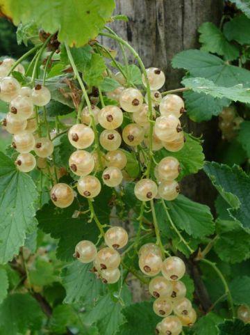 Ribes rubrum 'Witte Parel' - Aalbes , Bes, Witte , Witte bes