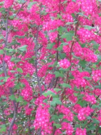 Ribes sanguineum 'Atrorubens Select' - Rode ribes