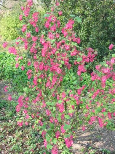 Ribes sanguineum 'King Edward VII' - Rode ribes