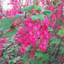 Ribes sanguineum 'Pulborough Scarlet' - Rode ribes