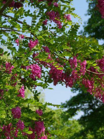 Robinia × ambigua 'Bellarosea' - Valse acacia