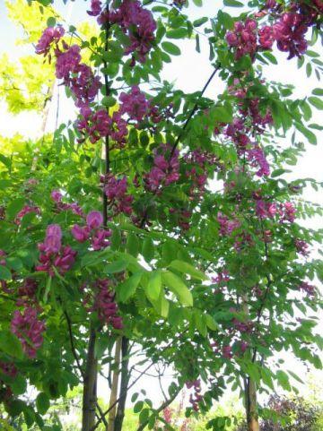 Robinia × margaretta 'Casque Rouge' (='Pink Cascade') - Valse acacia