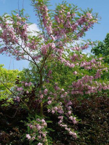 Robinia × slavinii 'Hillieri' - Roze acacia