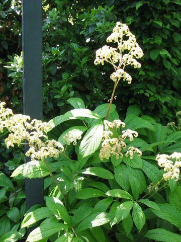 Rodgersia aesculifolia  - Kastanjebladige spirea , Schout-bij-nacht