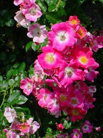 Rosa  'American Pillar' - Ramblerroos