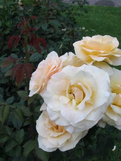Rosa  'Apricot Queen Elizabeth' - Trosroos