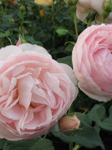 Rosa  'Heritage' (='Ausblush') - Engelse roos