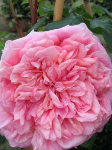 Rosa  'Abraham Darby' (='Auscot') - Engelse roos