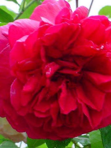 Rosa  'L.D. Braithwaite' (='Auscrim') - Engelse roos