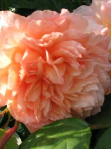 Rosa  'Grace' (='Auskeppy') - Engelse roos