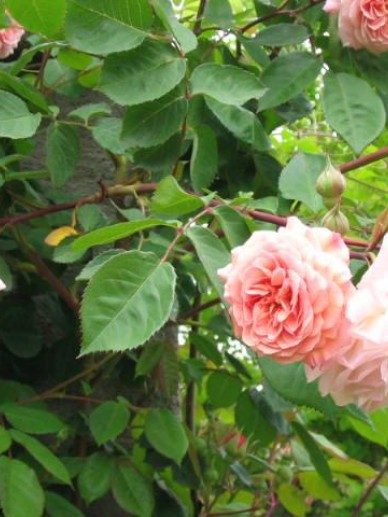 Rosa  'Leander' (='Auslea') - Engelse roos