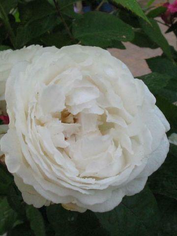 Rosa  'Glamis Castle' (='Auslevel') - Engelse roos