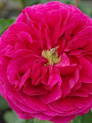 Rosa  'Othello' (='Auslo') - Engelse roos