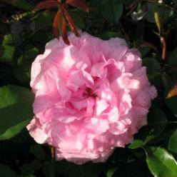 Rosa  'Mary Rose' (='Ausmary') - Engelse roos