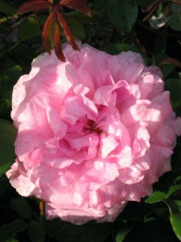 Rosa  'Mary Rose' (='Ausmary') - Engelse roos