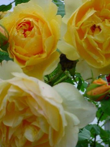 Rosa  'Graham Thomas' (='Ausmas') - Engelse roos