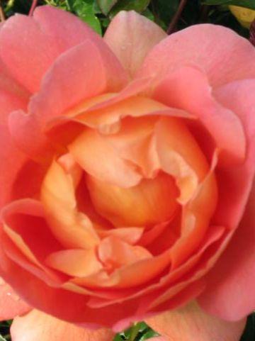 Rosa  'Pat Austin' (='Ausmum') - Engelse roos