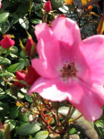 Rosa 'Betty Prior' - Floribundaroos