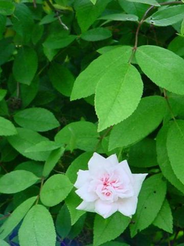 Rosa  'Bloomfield Abundance' - Trosroos