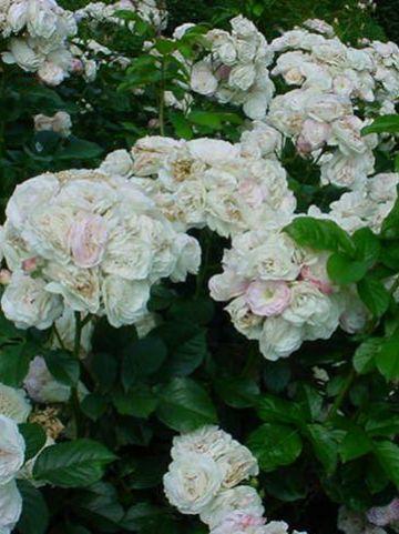 Rosa  'Bouquet Parfait' - Struikroos