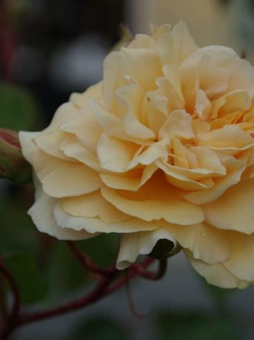 Rosa  'Buff Beauty' - Ouderwetse roos