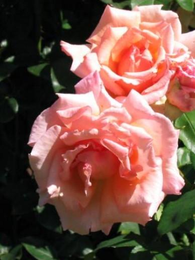 Rosa  'Compassion' - Klimroos
