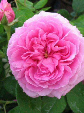 Rosa  'Comte de Chambord' - Ouderwetse roos