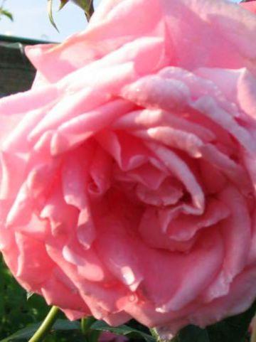 Rosa  'Coral Dawn' - Klimroos