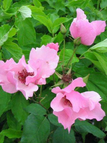 Rosa  'Dainty Bess' - Grootbloemige roos