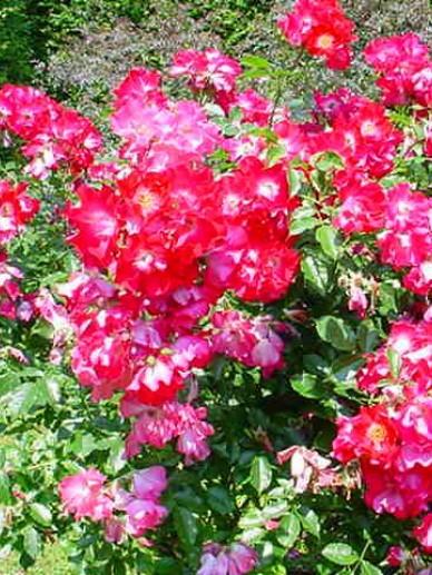 Rosa  'Dortmund' - Grootbloemige klimroos