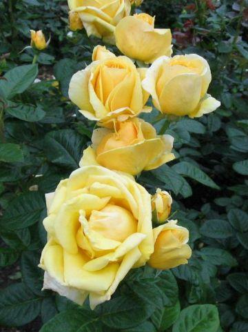 Rosa Electron  - Grootbloemige roos