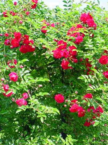 Rosa  'Excelsa' - Ramblerroos