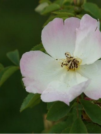Rosa  'Frühlingsmorgen' - Botanische roos